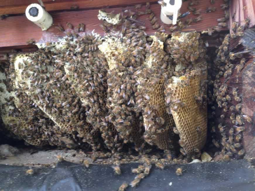 catch a honey bee swarm
